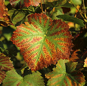 Necrotic lesions and damage on the margin of a Pinot Noir grape leaf caused by magnesium deficiency. Champagne, France. - Nigel Cattlin