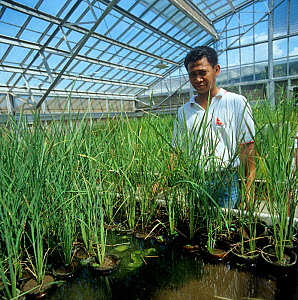 Technician in experimental greenhouse with Rice (Oryza sativa) experiments including genetic modification. International Rice Research Institute, Luzon, Philippines. - Nigel Cattlin