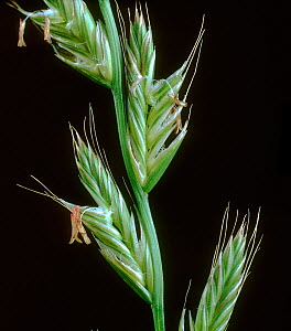 Perennial ryegrass (Lolium perenne), close up of flowering spike with awned spikelets. - Nigel Cattlin
