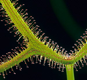 Sundew (Drosera binata dichotoma), close-up of leaf with sticky glandular trichomes / hairs, insectivorous plant.  -  Nigel Cattlin