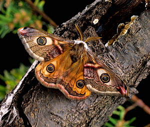 Emperor moth (Saturnia pavonia) male, wings open showing distinctive eye markings and feathery antennae.  -  Nigel Cattlin