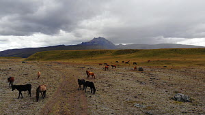 Aerial shot of a group of wild ponies (Equus caballus) in paramo landscape at the base of Cotopaxi Volcano, Ecuadorian Andes, 2018.  -  Morley Read
