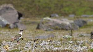 Slow motion clip of an Andean lapwing (Vanellus resplendens) walking in high paramo landscape, looking for predators, Cotopaxi Volcano, Ecuadorian Andes.  -  Morley Read