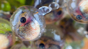 Close-up of Agua rica leaf frog (Phyllomedusa ecuatoriana) eggs after 15 days development, the tadpoles are nearly developed, Ecuador. Endangered.  -  Morley Read