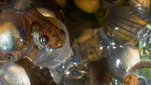 Close-up of Agua rica leaf frog (Phyllomedusa ecuatoriana) eggs after 18 days development, the tadpoles are fully developed and ready to hatch, Ecuador. Endangered. - Morley Read