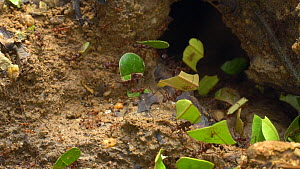 Slow motion clip of Leafcutter ants (Atta) carrying pieces of leaves back to their nest, Amazon rainforest, Napo Province, Ecuador.  -  Morley Read
