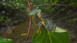Two Leaf frogs (Cruziohyla craspedopus), with a rainforest stream in background, Napo Province, Ecuador.  -  Morley Read