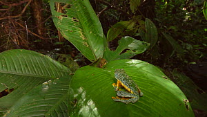 Slow motion clip of a Leaf frog (Cruziohyla craspedopus) jumping from a Calathea plant, Amazon rainforest, Ecuador. - Morley Read