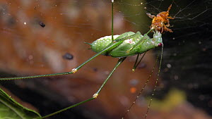 Katydid (Tettigoniidae) scavenging a dead bee from a spiders web in the rainforest at night , Napo Province, Ecuadorian Amazon.  -  Morley Read