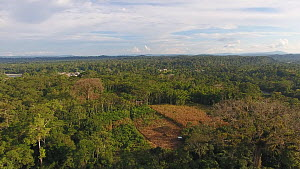 Aerial view descending over the rainforest, with two Ceiba trees and a clearing planted with maize, Napo Province, Ecuadorian Amazon, 2017. - Morley Read
