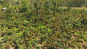 Aerial shot ascending over a plantation of Cocoa trees (Theobroma cacao) cut out of the rainforest by a colonist, Napo Province, Ecuadorian Amazon, 2017.  -  Morley Read