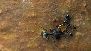 Slow motion clip of Ants (Formicidae) interacting and drinking sapfrom a Capirona tree, Ecuadorian Amazon.  -  Morley Read
