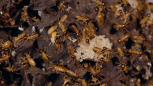 Brood chambers inside a Termite (Isoptera) nest with workers tending eggs, Napo Province in the Ecuadorian Amazon. Slow motion.  -  Morley Read