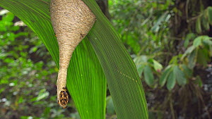 Eusocial wasps (Polybia) at the entrance of their nest hanging under a leaf, Napo Province, the Ecuadorian Amazon.  -  Morley Read