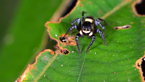 Jumping spider (Salticidae) on a leaf in the rainforest understory, Amazon rainforest, Napo Province, Ecuador. - Morley Read