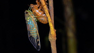 Adult cicada (Cicadoidea), just emerged from its larval skin and waiting for the wings to expand and dry, Pastaza Province, Ecuador. - Morley Read