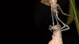Katydid (Tettigoniidae) moulting, hanging from its old skin and waiting for the new one to dry, Pastaza Province, Ecuador.  -  Morley Read