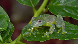 Resplendent cochran frog (Cochranella resplendens) on a leaf in the rainforest understory, Pastaza Province, Ecuador.  -  Morley Read