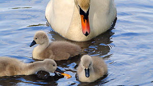 Slow motion clip of a Mute swan (Cygnus olor) with three cygnets, Cornwall, England, UK, May.  -  Morley Read