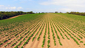 Drone shot tracking over a field planted with potatoes, Cornwall, England, UK, June 2018. - Morley Read