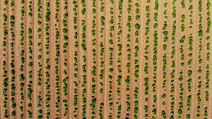 Drone shot ascending over a field planted with potatoes, Cornwall, England, UK, June 2018.  -  Morley Read