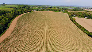Drone shot descending over a field planted with potatoes, Cornwall, England, UK, June 2018. - Morley Read