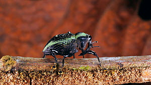 Weevil (Curculionoidea) walking along a branch, Orellana Province, Ecuador.  -  Morley Read