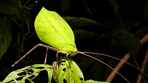 Leaf mimic katydid (Tettigoniidae) on a rainforest shrub, showing leaf camouflage, Orellana Province, Ecuador.  -  Morley Read