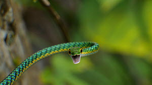 Parrot snake (Leptophis ahaetulla) threat display, Amazon rainforest, Orellana Province, Ecuador.  -  Morley Read