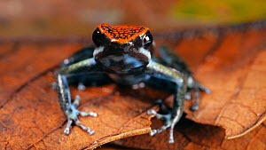 Ecuador poison frog (Ameerega bilinguis) amongst leaf litter, Amazon rainforest, Orellana Province, Ecuador. - Morley Read