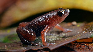 Ecuador silent frog (Chiasmocleis antenori) in the leaf litter, Amazon rainforest, Orellana Province, Ecuador.  -  Morley Read