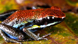 Slow motion clip of an Ecuador poison frog (Ameerega bilinguis) jumping on the rainforest floor, Orellana Province, Ecuador.  -  Morley Read