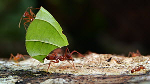 Slow motion clip of a Leaf cutter ant (Atta) carrying a leaf along a branch, Orellana Province, Ecuador.  -  Morley Read