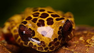 Clown treefrog (Dendropsophus reticulatus) opening its eyes, Amazon rainforest, Orellana Province, Ecuador.  -  Morley Read
