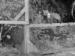 Radio-collared Male Pine Marten (Martes martes) emerging from a temporary soft release cage after dark during the Forest of Dean and River Wye Pine Marten Project, the Forest of Dean, Gloucestershire,... - Nick Upton