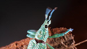 Glitter weevil (Compsus), showing iridescence created from photonic crystals within the body scales, Orellana Province, Ecuadorian Amazon.  -  Morley Read
