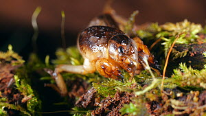 Mole cricket (Gryllotalpa) grooming and digging in moss, Amazon rainforest, Orellana Province, Ecuador.  -  Morley Read