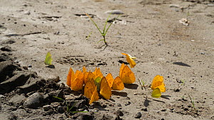 Large group of Butterflies (Pieridae) taking flight after puddling, absorbing nutrients or minerals from damp soil, Orellana Province, Amazon rainforest, Ecuador.  -  Morley Read