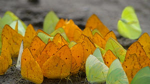 Slow motion clip of a large group of Butterflies (Pieridae) taking flight after puddling, absorbing nutrients or minerals from damp soil, Orellana Province, Amazon rainforest, Ecuador.  -  Morley Read