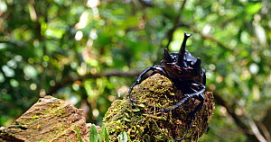Elephant beetle (Megasoma actaeo) climbing on a fallen tree trunk, Amazon rainforest, Orellana Province, Ecuador. - Morley Read