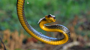 Slow motion clip of a Linnaeus' sipo snake (Chironius exoletus) with open mouth, part of threat display, Amazon rainforest, Orellana Province, Ecuador.  -  Morley Read