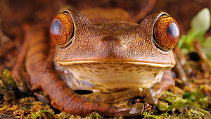 Map treefrog (Boana geographica) blinking, Amazon rainforest, Orellana Province, Ecuador.  -  Morley Read