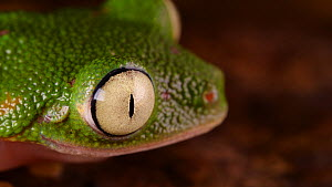 Leaf frog (Agalychnis hulli) blinking its eyes, Amazon rainforest, Orellana Province, Ecuador.  -  Morley Read