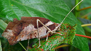 Leaf mimic katydid (Tettigoniidae) in a rainforest shrub, Orellana Province, Ecuador.  -  Morley Read