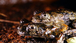 Pair of Marbled treefrogs (Dendropsophus marmoratus) in amplexus, Orellana Province, the Ecuadorian Amazon at night.  -  Morley Read