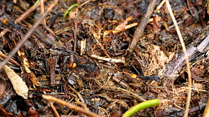 Slow motion clip of Army Ants (Eciton rapax) on the rainforest floor, with a Staphylinid beetle nearby, a nest parasite, Orellana Province, Ecuador.  -  Morley Read