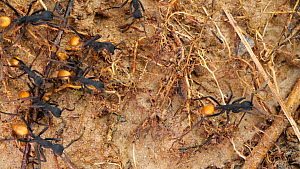 Slow motion clip of Army ants (Eciton rapax) on the rainforest floor, Orellana Province, Ecuador. - Morley Read