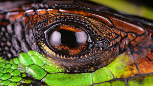 Slow motion clip of a Forest whiptail lizard (Kentropyx pelviceps) blinking its eye, showing nictitating membrane crossing the eye, Amazon rainforest, Orellana Province, Ecuador.  -  Morley Read