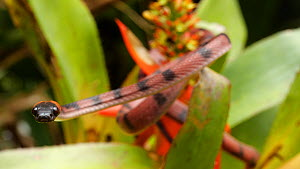 Tropical flat snake (Siphlophis compressus) climbing on a flowering bromeliad (Aechmea) in the Amazon rainforest, Orellana Province, Ecuador. - Morley Read