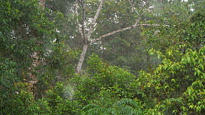 Slow motion clip of rain falling into the rainforest understory, Orellana Province, Ecuador.  -  Morley Read